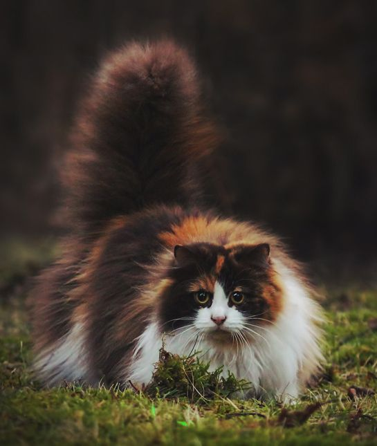 Fluffy cat breeds - My Norwegian Forest cat Boots is a twin to this beauteous vision of lovliness :) #catfacts