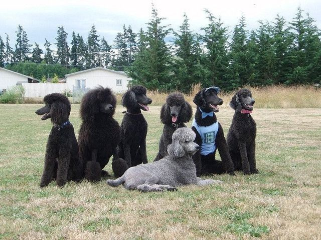 The poodle gang