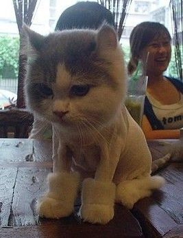 i think this poor kitty has been shaved so that she looks