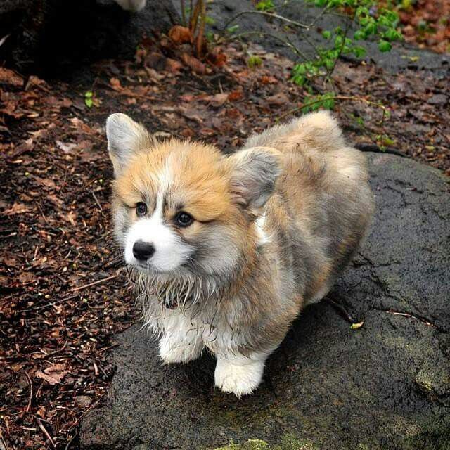 A cutie. ..fluffy corgi