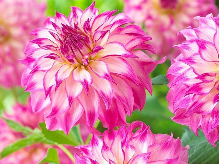 Dalia Dalie Colorado Classic Duze Karpy Okazja 7851214705 Oficjalne Archiwum Allegro Plants