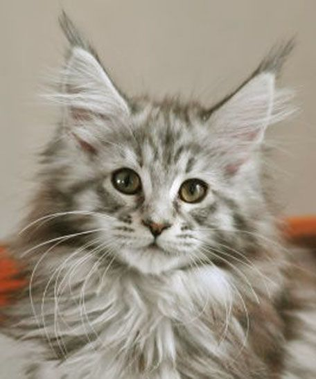 ♔ Silver Torbie Maine Coon cat http://www.mainecoonguide.com/male-vs-female-maine-coons/