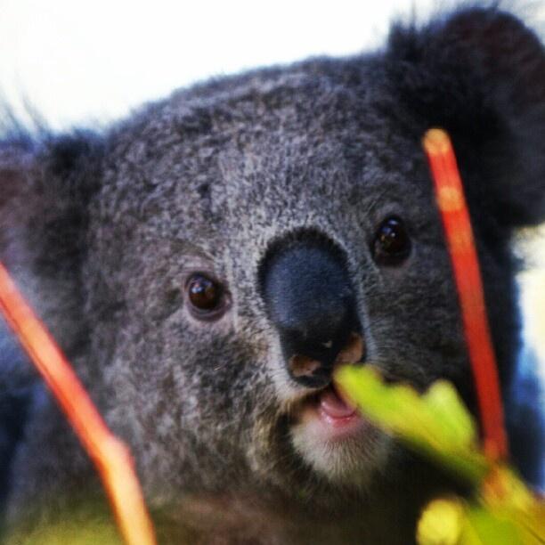 Baby Koala at Taronga Sydney