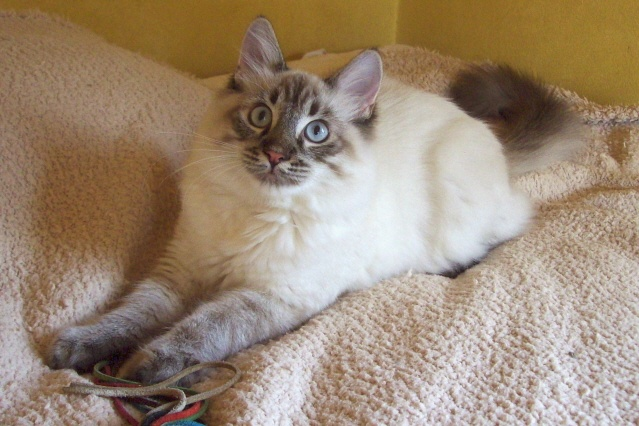 Lynx Point Ragdoll Homeless Pets I Would Adopt