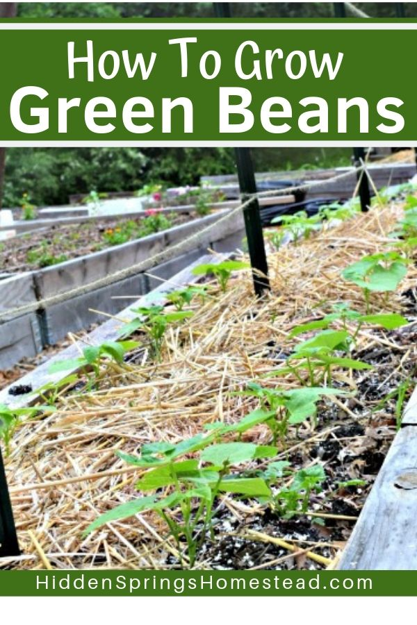 How To Grow Green Beans In Your Backyard Garden Growing Green Beans Home Vegetable Garden Growing Vegetables