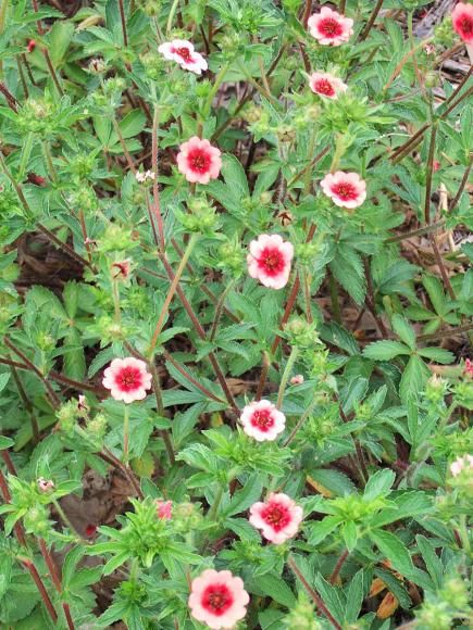 1755 best images about home garden flowers on pinterest for Colorful low maintenance perennials