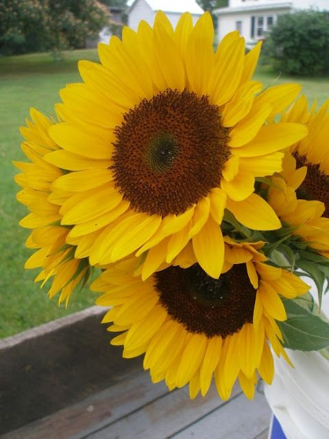 How to Plant & Grow Cut SunflowersGardens Ideas, Thy Hands, Growing Sunflowers, Cut Sunflowers, Sunny Sunflowers, Hath Provider, Sun Flower, Hands Hath, Growing Cut