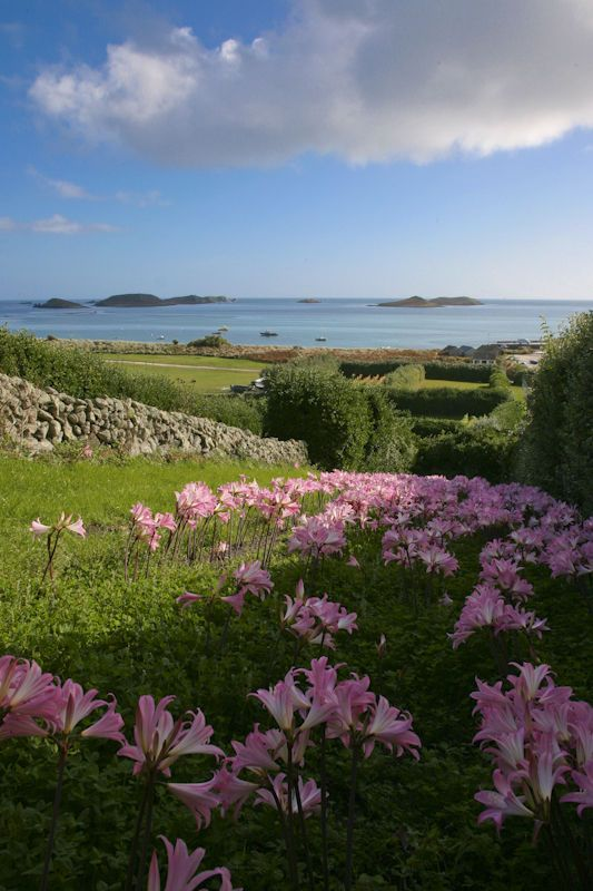 St Martins So Lovely, Isles of Scilly, UK boasts some of the best beaches in the UK, and no cars!!Belladonna Lilies, grow in September, beautiful.....
