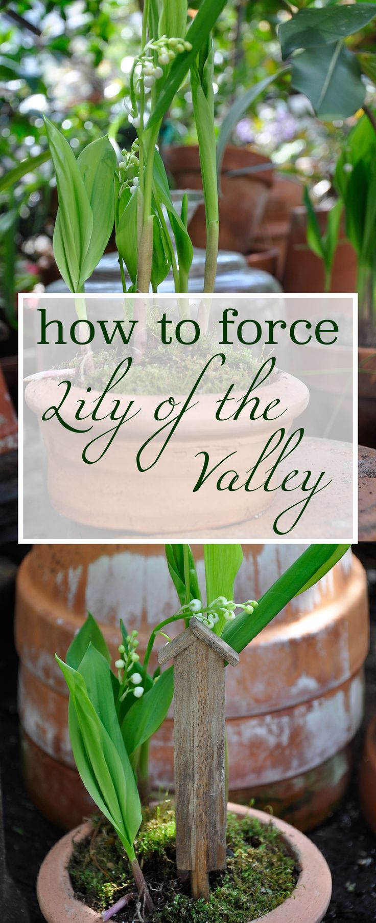 17 best ideas about lily of the valley on pinterest lily of the valley flower photos lily of. Black Bedroom Furniture Sets. Home Design Ideas