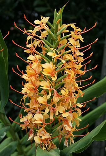 Tai Golden Goddess Hardy Ginger Lily for sale buy Hedychium 'Tai Golden Goddess' from Plant Delights Nursery, Inc.