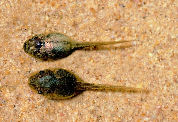 L caerulea tadpoles