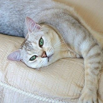 Rare cat breeds and Breed information - Burmilla Cat