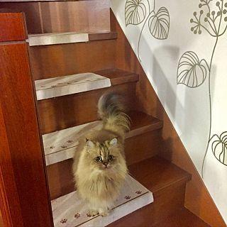 ニトリ×ニトリウォールステッカーモニターのまとめページ | RoomClip ... On Walls/ねこ/滑り止めマット/かりん/ペルシャ猫/チンチラゴールデン