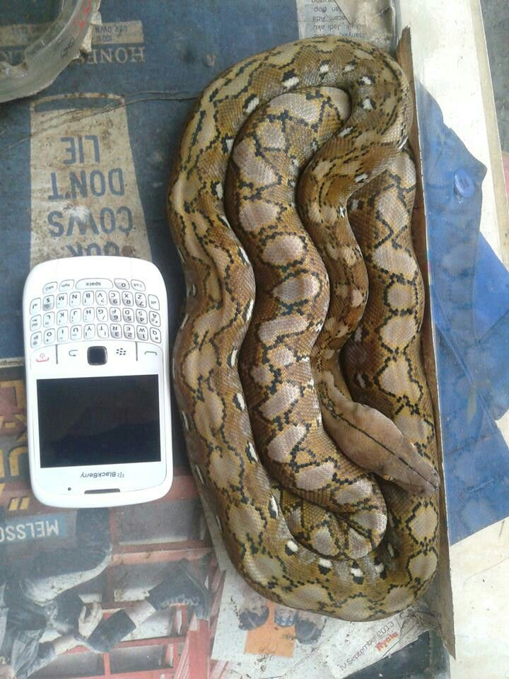 13 best Madu reticulated python (super dwarf) images on Pinterest ...