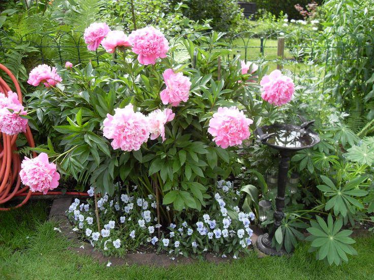 17 besten pflanzen ottmar bilder auf pinterest gartenpflanzen pflanzen und garten pflanzen. Black Bedroom Furniture Sets. Home Design Ideas