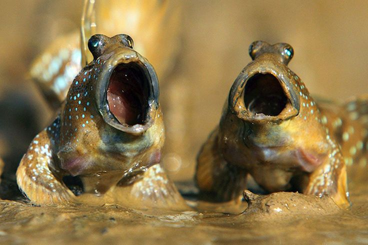 Mudskippers-MAIN.jpg (2197×1463)