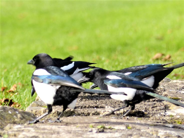 Magpies, Lough Gur, November 2017.