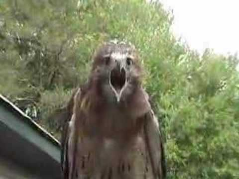 red-tailed hawk screaming - YouTube