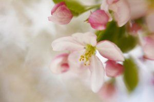 Spring Blossom Whisper © Diane Alexander 2016 (Dragon Wing Images). Prints, cards, pillows, tote bags and more for sale. Captured this image of a lovely crab apple blossom with a Lensbaby lens using a soft focus optic and a star aperture - see the white starts in the upper left? The soft focus optic gives this image its soft and dreamy look.  http://diane-alexander.pixels.com/featured/spring-blossom-whisper-diane-alexander.html