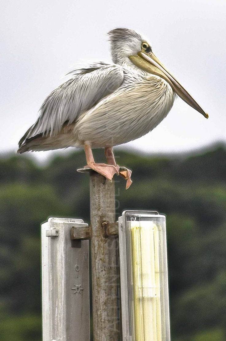 Pink backed pelican | ALLEN E SCHULTZ PHOTOGRAPHY