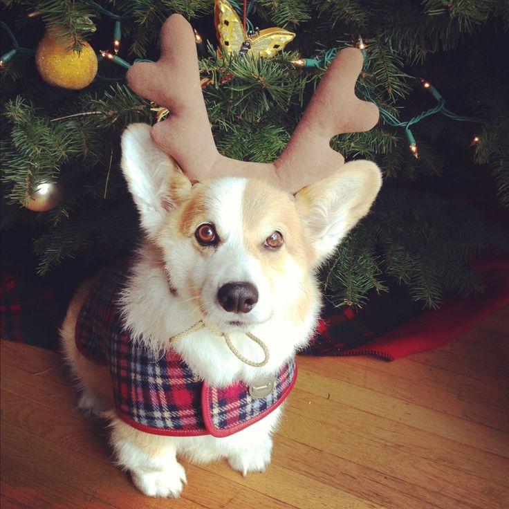 The Daily Corgi: It's Christmastime: Corgi On!