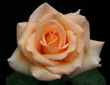 Tips for growing beautiful roses http://www.oregonlive.com/hg/index.ssf/2016/05/fort_vancouver_rose_society_ju.html