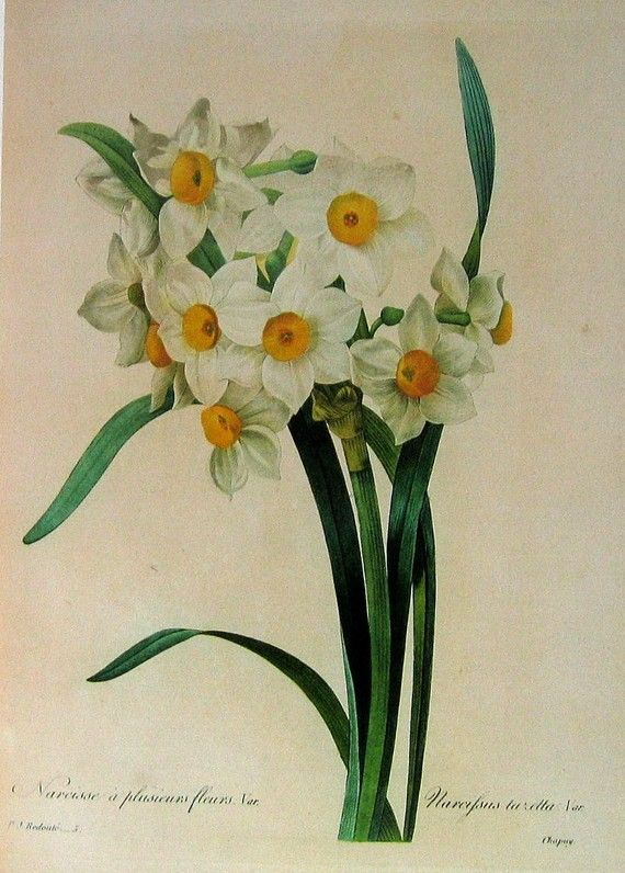 Old botanical print