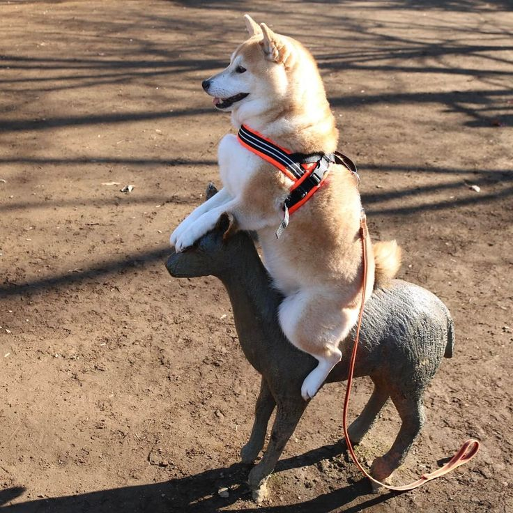 Go ahead deer! たくさんの方のお力をお借りして撮影が出来そうです。 どうもありがとうございます。 新記事 @mofmo_ https://mofmo.jp/article/11009 #shiba#shibe#shibainu#shibainuuni#shibalovers#shibaoftheday#shibastagram#instashiba#lovepets#lovedogs#loveshiba#dog#doge#doglovers#uni#unistagram#dogstagram#instagood#うにブランコ#tokyo#japan#happyface#unihalo#柴犬#柴犬うに#dogoftheday#うに#うにはろ#halo#halostagram