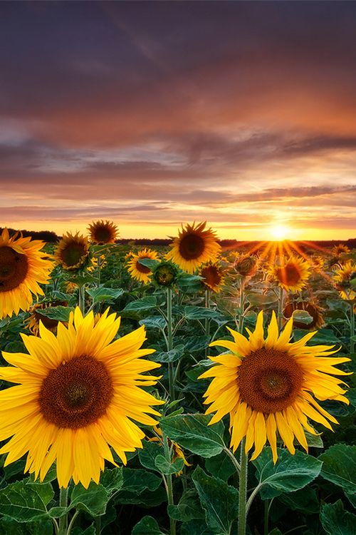 #dawn #sunrise #sunflowers #flowers #flower #beauty #flowerpictures