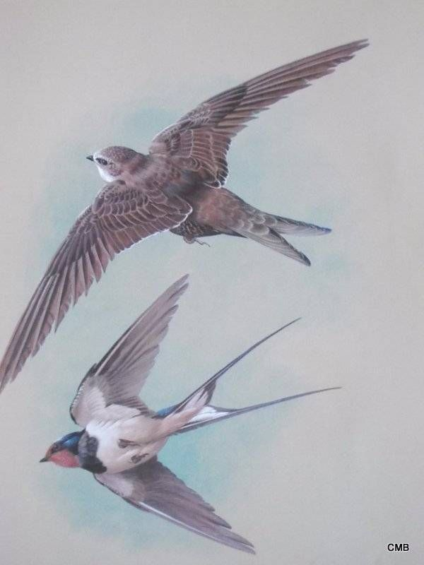 653 best Swallows, zwaluwen images on Pinterest | Swallows, Little ...