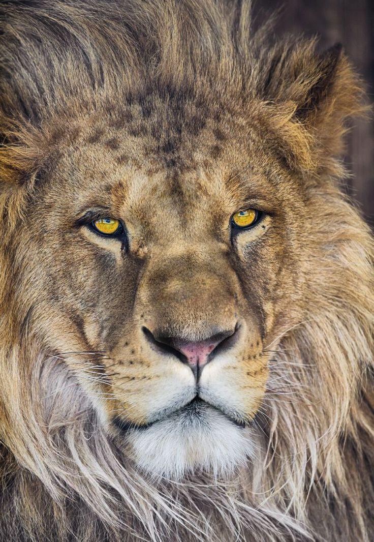 Siempre he admirado por su coraje y fuerza, el león es considerado el rey de los animales . Contacta con nosotros al 951 081 159, vía email info@bricotiendas.com o visita nuestra tienda especializada en papeles pintados www.papeles-pintados.es.