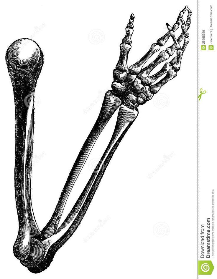 29 best bones images on pinterest | bones, anatomy and draw, Skeleton