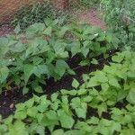 Planning A Companion Vegetable Garden