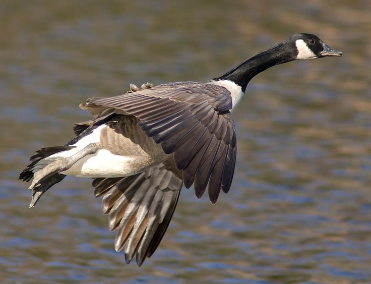 canada goose nunavut