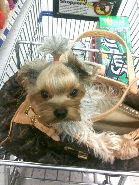 She looks like Nika, I just need the bag now!: Miniatures Horses, Puppies, Pur Dogs, Yorkie, Pets, Service Dogs, Little Dogs, Animal, New Hairstyles