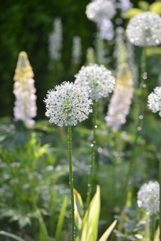 Allium and Lupins in Claus Dalby's beautiful garden/Pia