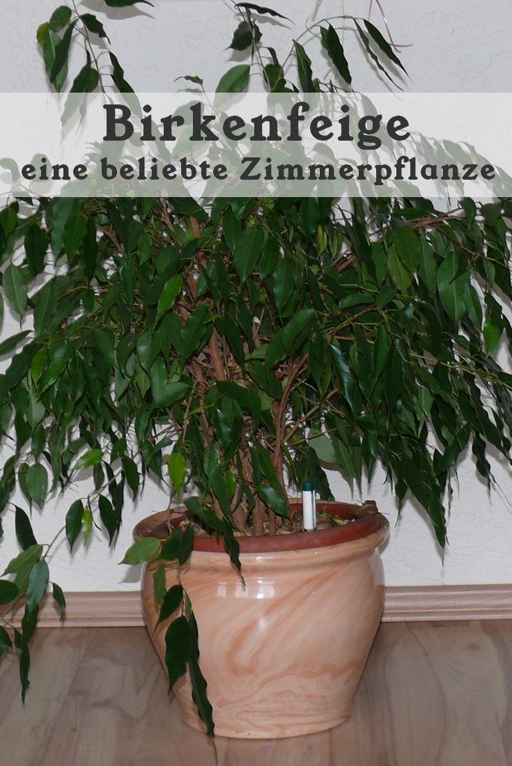 Die Birkenfeige, auch Ficus Benjamini genannt, ist eine sehr