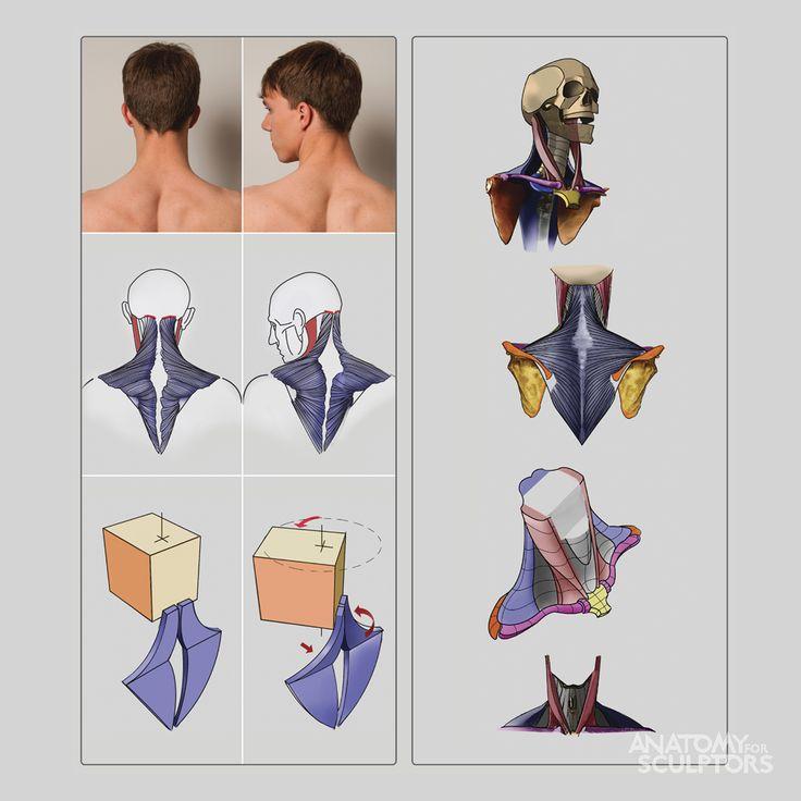 best 25 neck muscle anatomy ideas on pinterest shoulder. Black Bedroom Furniture Sets. Home Design Ideas