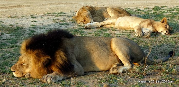 Papa lion snoozes while young ones sleep in the background. Cubs have spots on their coats.