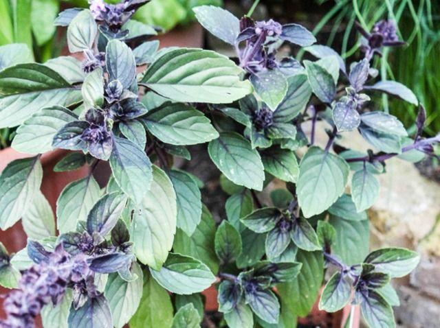 Basilic perpétuel ou vivace : conseils de semis, plantation et culture