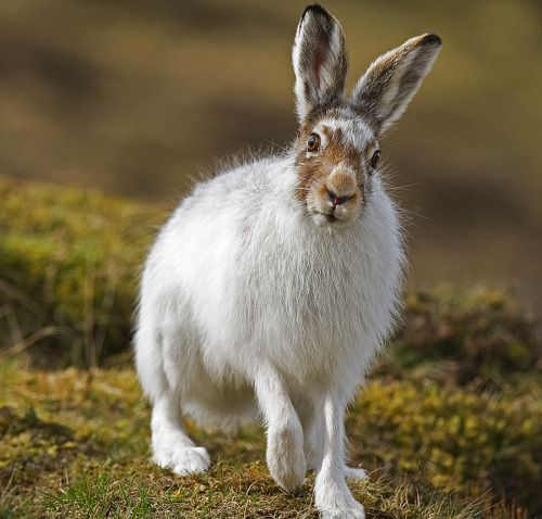 """lotsofwildthings: """" Mountain Hare looking inquisitive (by David C Walker 1967) """""""