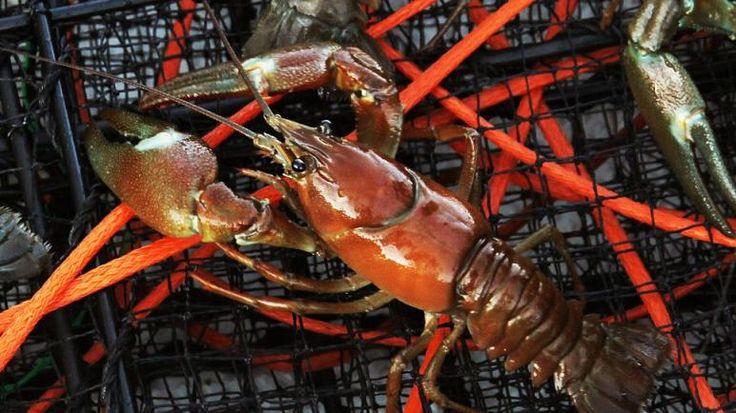 Add some Lake Tahoe Crayfish to the menu this summer.