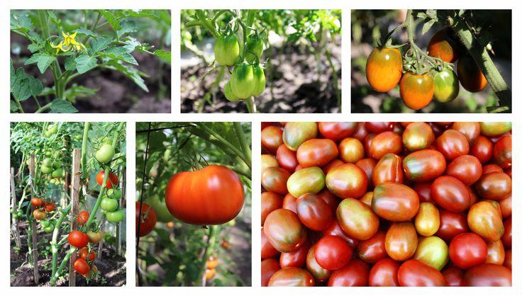 V dnešnom článku si povieme, ako pestovať paradajky. Akú odrodu si vybrať, ako paradajky sadiť, zalievať, vyštikávať a samozrejme, ako paradajkychrániť pred chorobami a škodcami.  Výber vhodnej odrody paradajky…