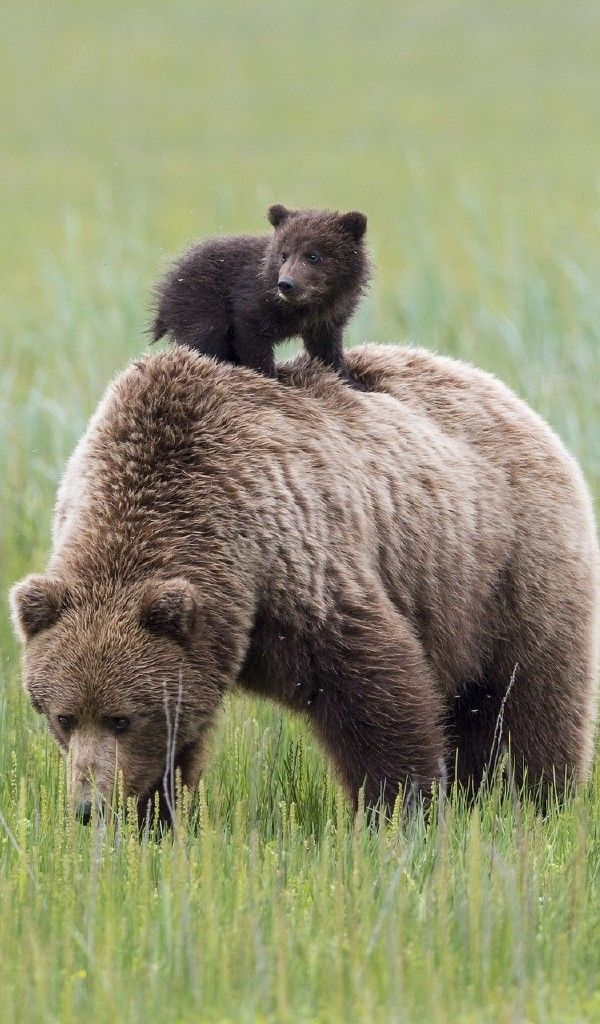 Wallpaper Аляска, Материнство, Lake Clark National Park, Alaska, Медведи, Медведица, Медвежата. Animals | PicsFab.com - Desktop Wallpapers