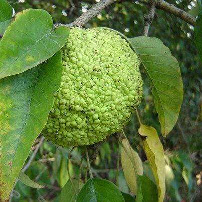 Osage Orange (Maclura pomifera) is a tree/shrub of unending uniqueness and use. AKA Horse Apples / Hedge Apples / Hekate Thorn Apple   (Hedge Ball, Green Brains, Monkey Balls, Mock Orange)