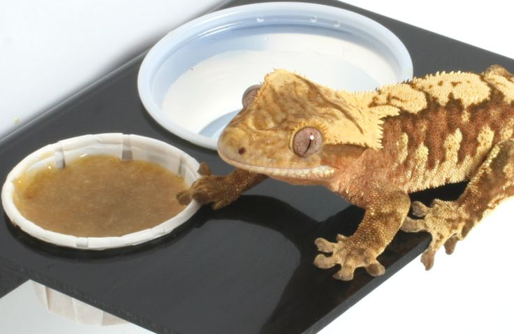 What do crested geckos eat? Which brands are the best? Get answers to all your crested gecko food-related questions in ReptiFiles' care packet!