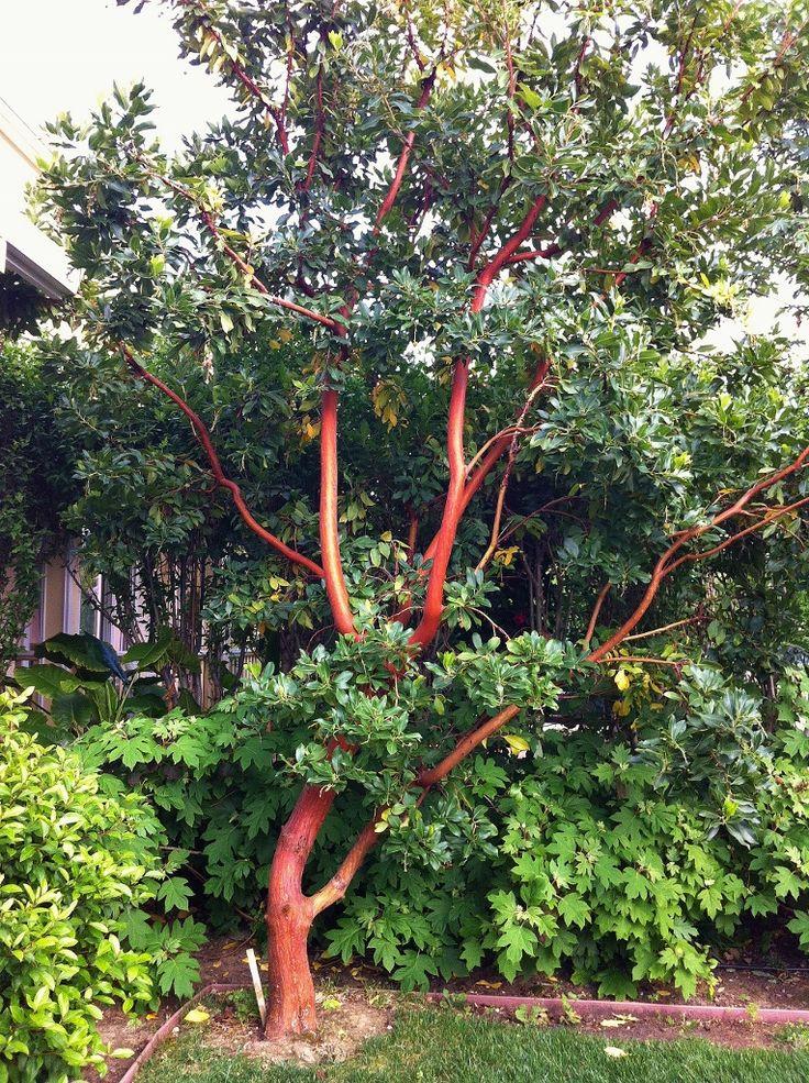 'marina' strawberry tree - Google Search