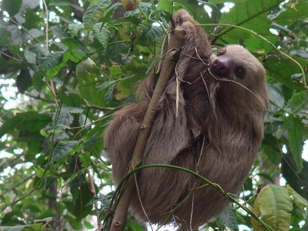 Their predators are eagles, snakes, and jaguars, but they're well protected because they spend most of their time in trees. | 17 Astounding Facts About Sloths