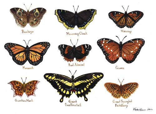 butterfly identification chart | Entomology | Pinterest | Nuthatches, The o'jays and Blog - photo#14