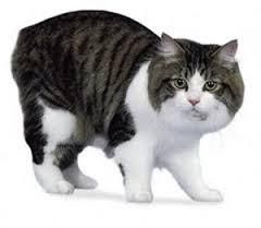 Connaissez-vous le chat Cymric ?